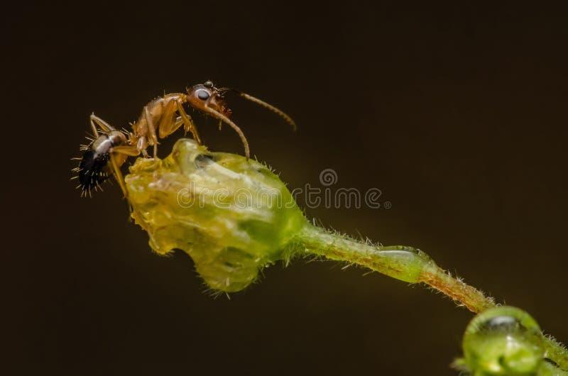 Härlig röd och svart myra i Malaysia arkivfoton