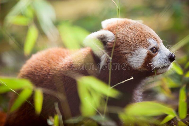 Härlig röd panda i naturlig livsmiljö arkivfoto