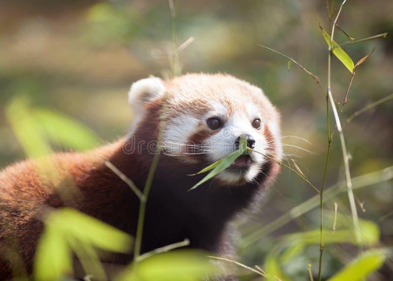 Härlig röd panda i naturlig livsmiljö royaltyfri fotografi