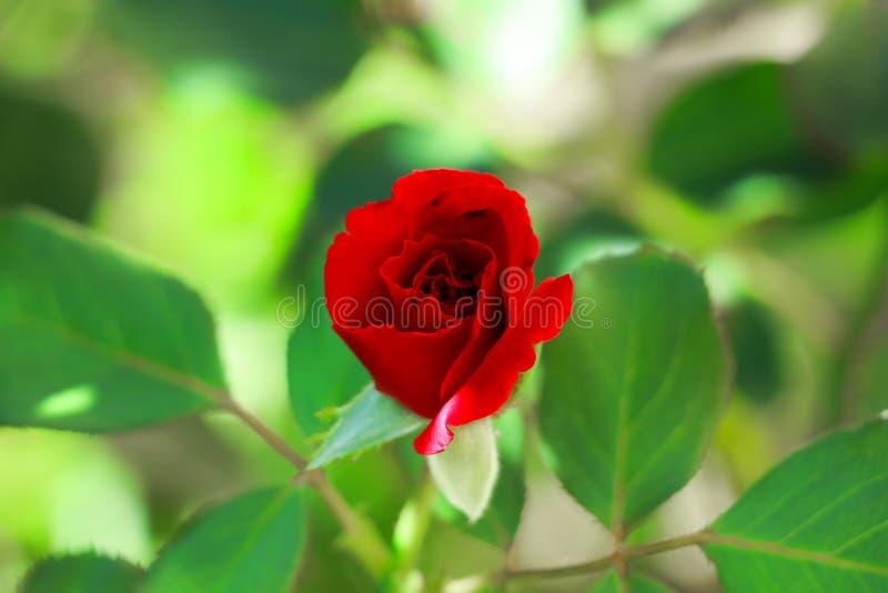 Härlig röd ros i min trädgård för moder` s, Serbien arkivfoto