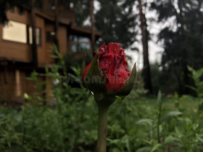 Härlig röd ros i trädgård arkivbild