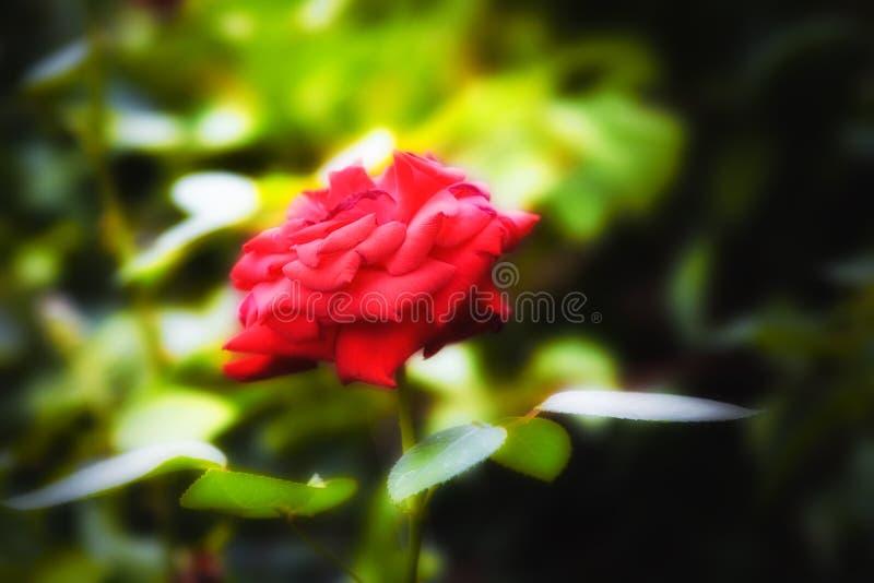 Härlig röd ros i trädgården arkivfoton
