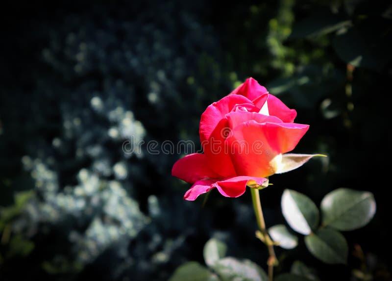 Härlig röd ros i trädgården på en mörk bakgrund perfekt korth?lsning royaltyfri fotografi