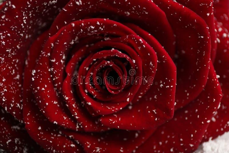 Härlig röd ros med snö som bakgrund arkivbilder