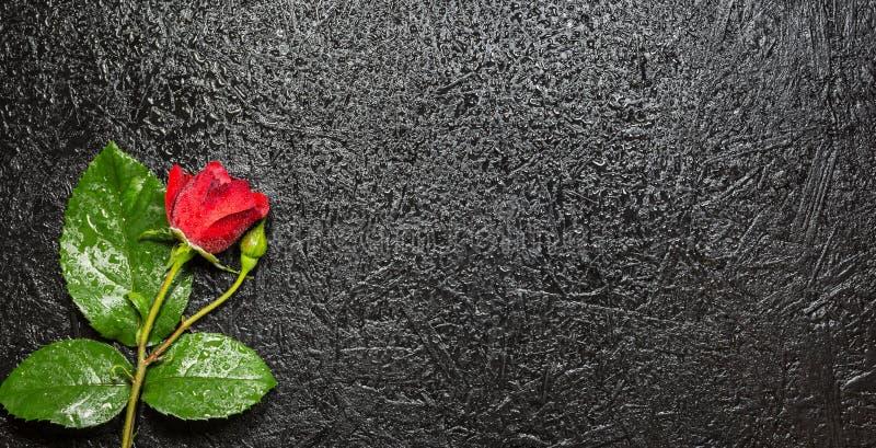 Härlig röd ros med vattensmå droppar över svart bakgrund royaltyfri foto