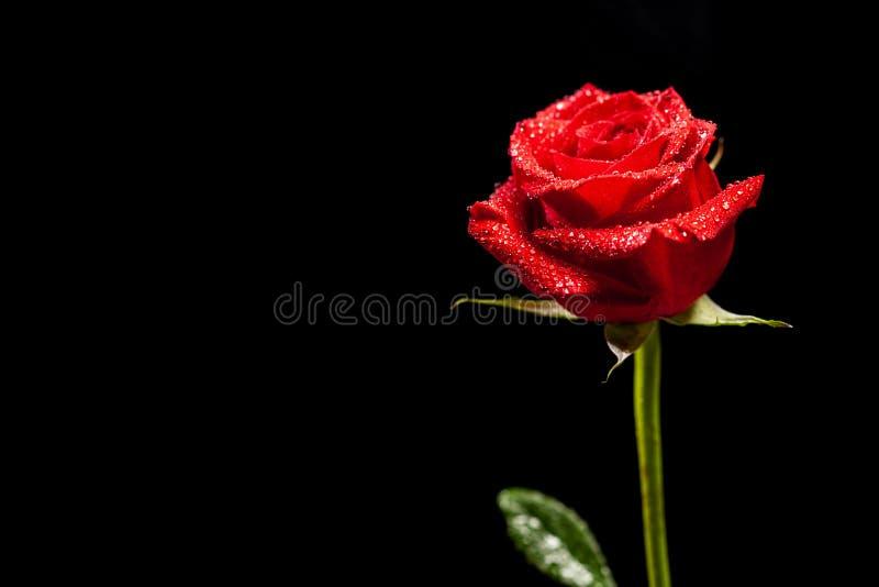 Härlig röd ros som symbol av förälskelse över svart bakgrund arkivfoto