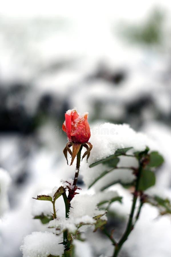 Härlig röd ros som täckas med snö på wintergardenen royaltyfria bilder