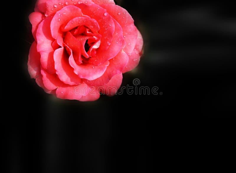 Härlig röd rosa blomma att ta en närbildbild på bakgrunden royaltyfri foto
