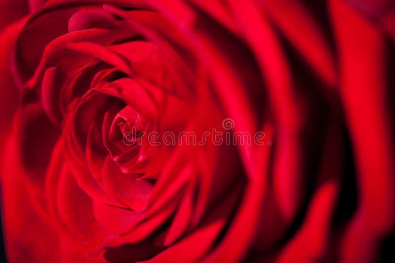 Härlig röd rosblomma på svart bakgrund arkivfoto