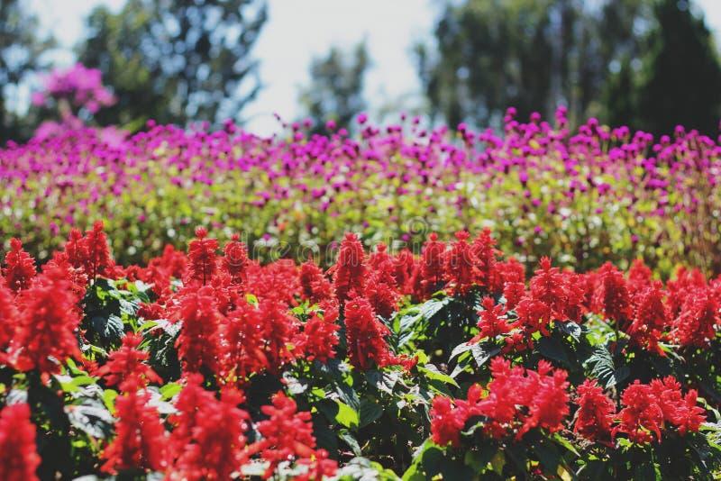 Härlig röd scharlakansröd vis man och rosa immortetleblommor i parkerar royaltyfri bild