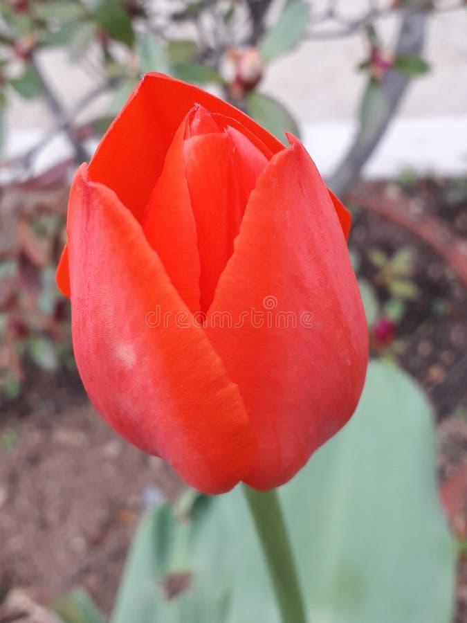 härlig röd tulpan arkivfoto