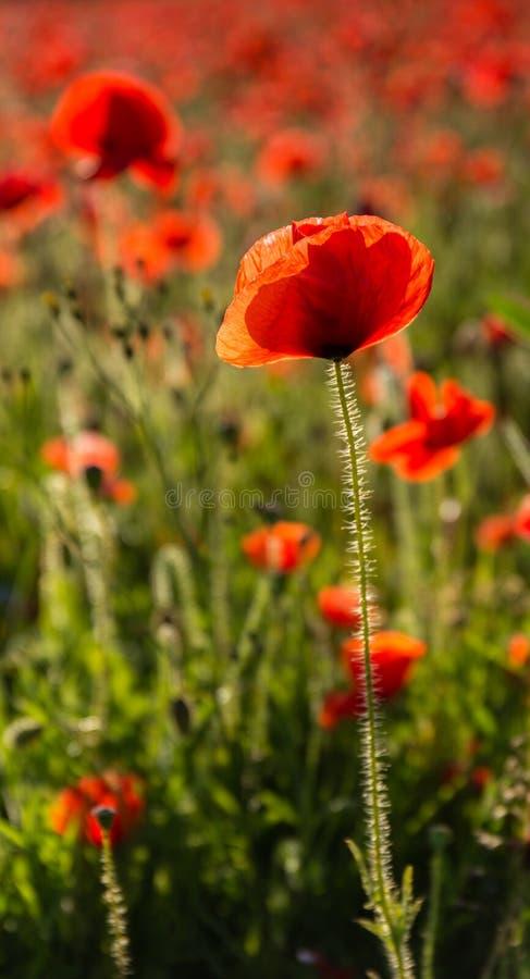 Härlig röd vallmo, Polly Joke, västra Pentire, Cornwall royaltyfria bilder