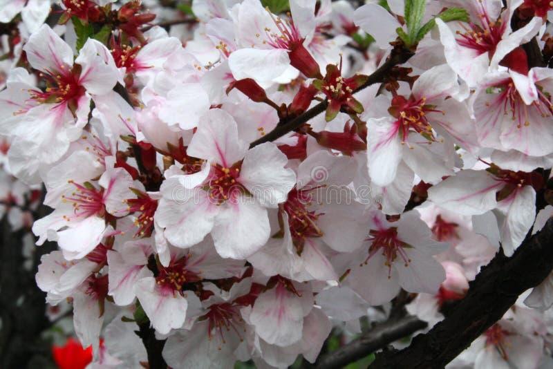 Härlig röd vit körsbärsröd blom på en solig dag på en vår royaltyfria bilder