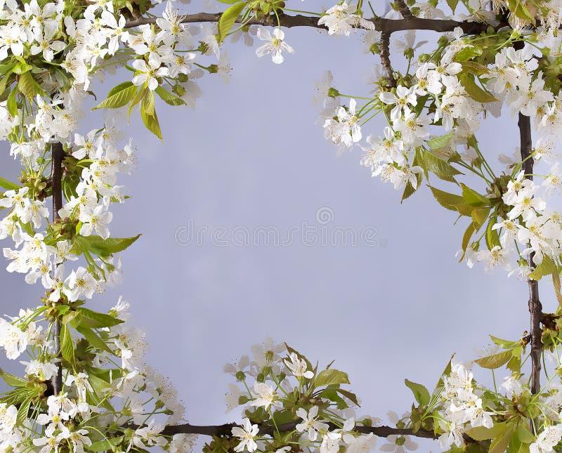 Härlig ram med blommor av körsbäret, vårsommaren royaltyfri bild