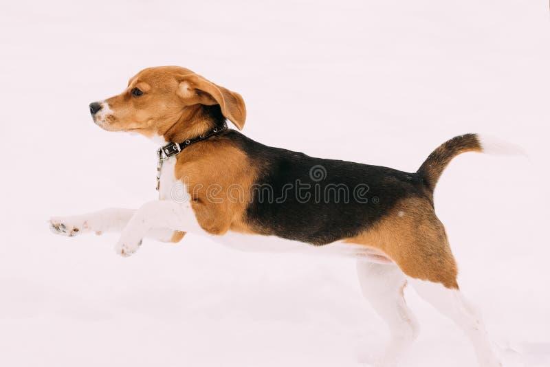 Härlig rolig valp av den engelska beaglet som spelar snabb spring i snö arkivbild