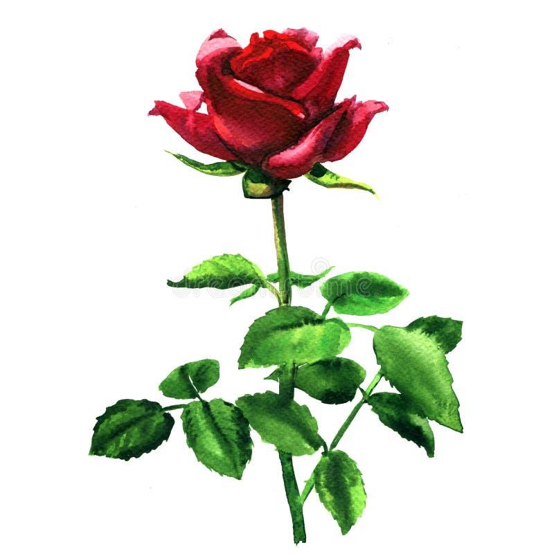 Härlig romantisk mjuk röd rosa ros, enkel blomma med det isolerade bladet, utdragen vattenfärgillustration för hand på vit royaltyfri illustrationer