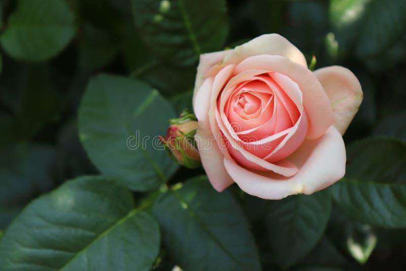 Härlig rosa Aphrodite för Closeup som fotograferas i den organiska trädgården med suddig lövverk Natur och rosa begrepp arkivbild