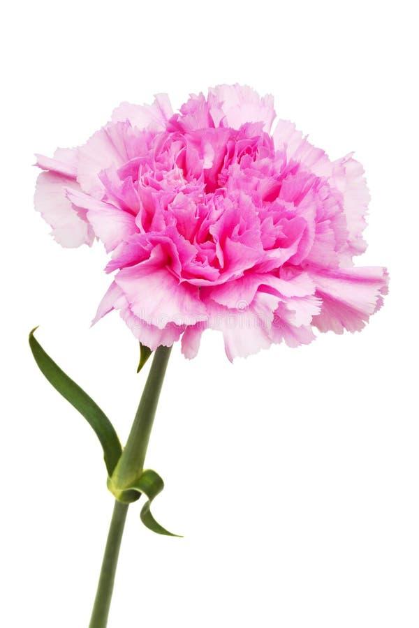 Härlig rosa blomma royaltyfri foto