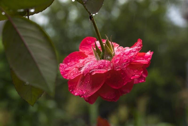 Härlig rosa blomma med vattendroppar i trädgård royaltyfri foto