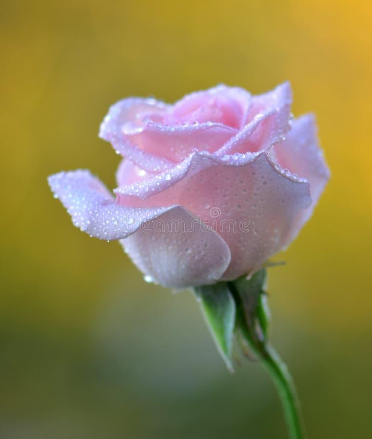 Härlig rosa blomma med vattendroppar och den trevliga detaljen arkivbild