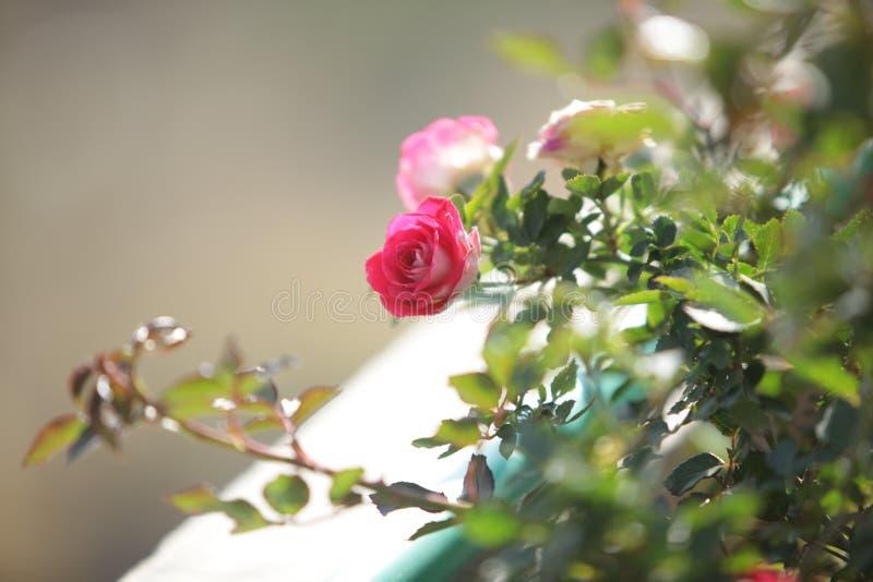 Härlig rosa blomma och filialer royaltyfri fotografi