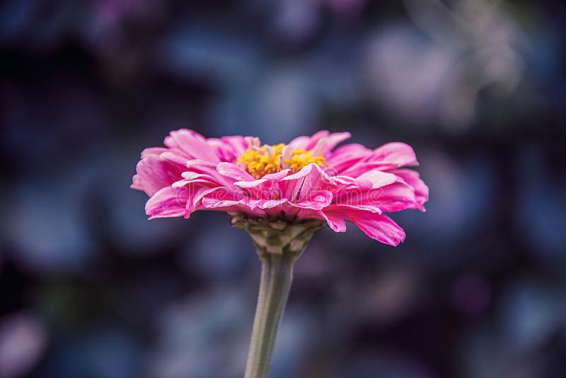 Härlig rosa blomma på en grön stjälk på ett mörkt - blå bakgrund fotografering för bildbyråer