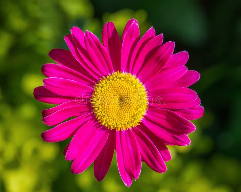 Härlig rosa blommapyrethrumtusensköna på en grön bakgrund Feverfew m?lad tusensk?na medicinal v?xt Closeupmakro Top besk?dar royaltyfria foton