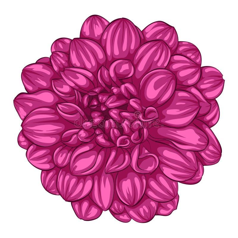 Härlig rosa dahlia som isoleras på vit bakgrund vektor illustrationer