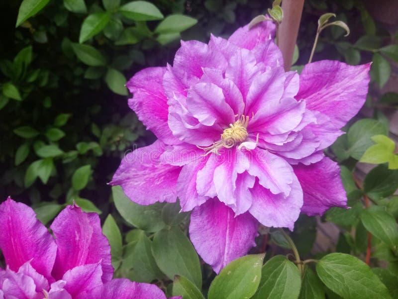 Härlig rosa dubbel blommig klematis i en trädgårdträdgård Klematiscultivar 'Piilu ', arkivfoton