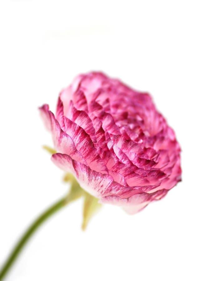 Härlig rosa färgblomma arkivfoto