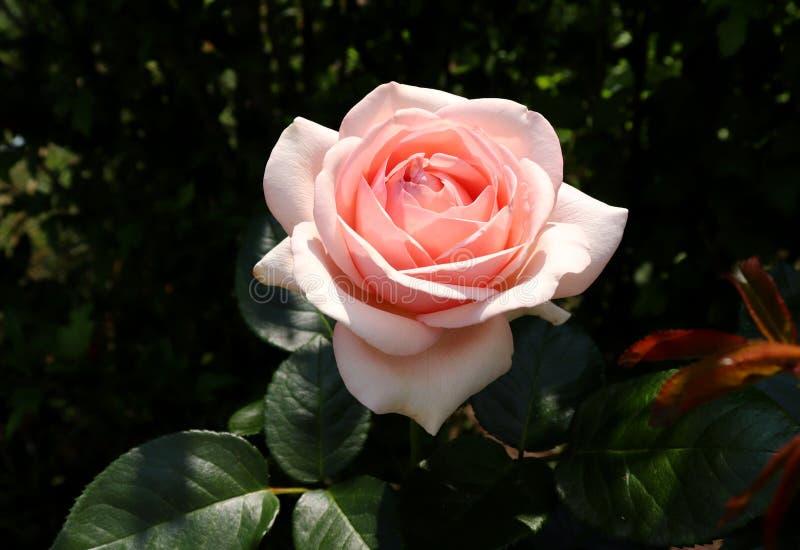 Härlig rosa färgros för Closeup som fotograferas i den organiska trädgården med suddig lövverk frigör stället för text en royaltyfri foto