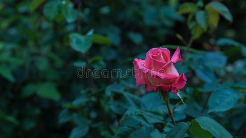 Härlig rosa färgros i den mörka closeupen royaltyfri foto