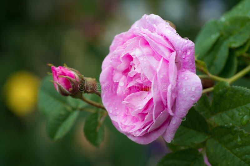 Härlig rosa färgros med vattensmå droppar efter regn i trädgård arkivfoton