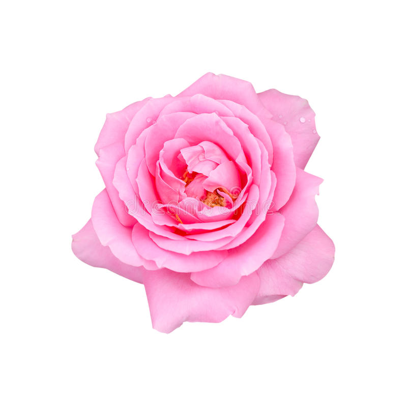 Härlig rosa färgros som isoleras på vit bakgrund arkivfoto