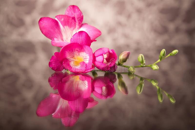 Härlig rosa freesia arkivfoto