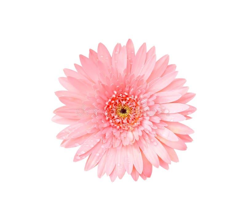 Härlig rosa gerbera- eller för barbertontusensköna blomma för bästa sikt som blommar med vattendroppar som isoleras på den vita b royaltyfria foton