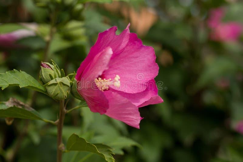 Härlig rosa hibiskus i trädgård arkivbilder