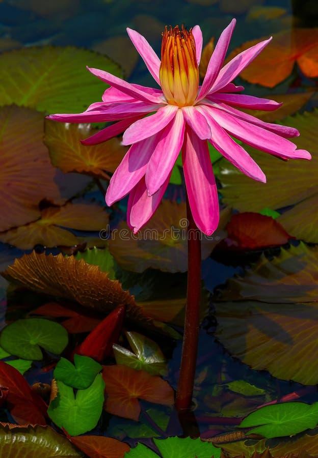 Härlig rosa hybrid- rosa näckros arkivbild