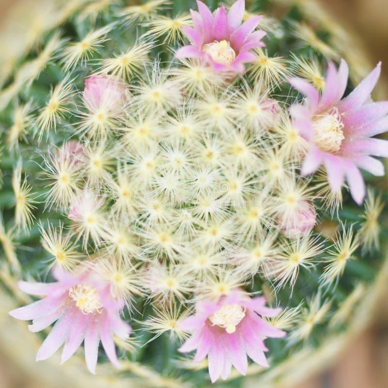 Härlig rosa kaktusblomma som blommar i trädgård royaltyfria foton