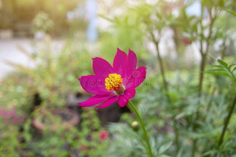 Härlig rosa kosmosblom med solljus royaltyfria bilder