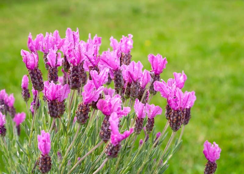 Härlig rosa lavendelblomning royaltyfri foto