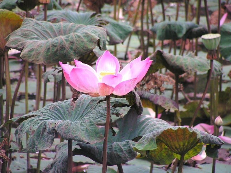 Härlig rosa lotusblomma kläckte arkivbilder