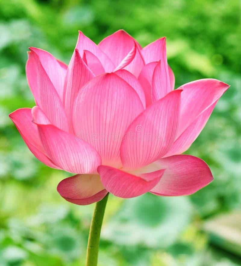 Härlig rosa lotusblommablomma, i blooning royaltyfri fotografi