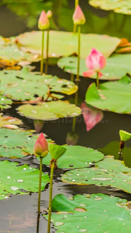 Härlig rosa lotusblommablomma i dammet fotografering för bildbyråer