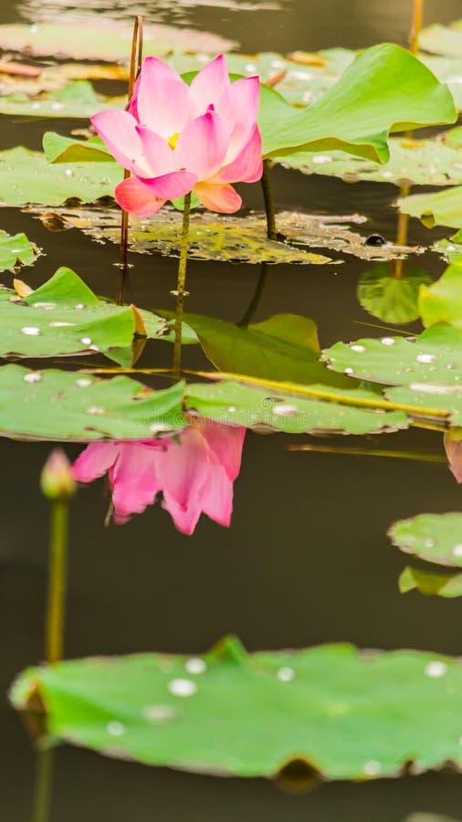 Härlig rosa lotusblommablomma i dammet royaltyfri fotografi