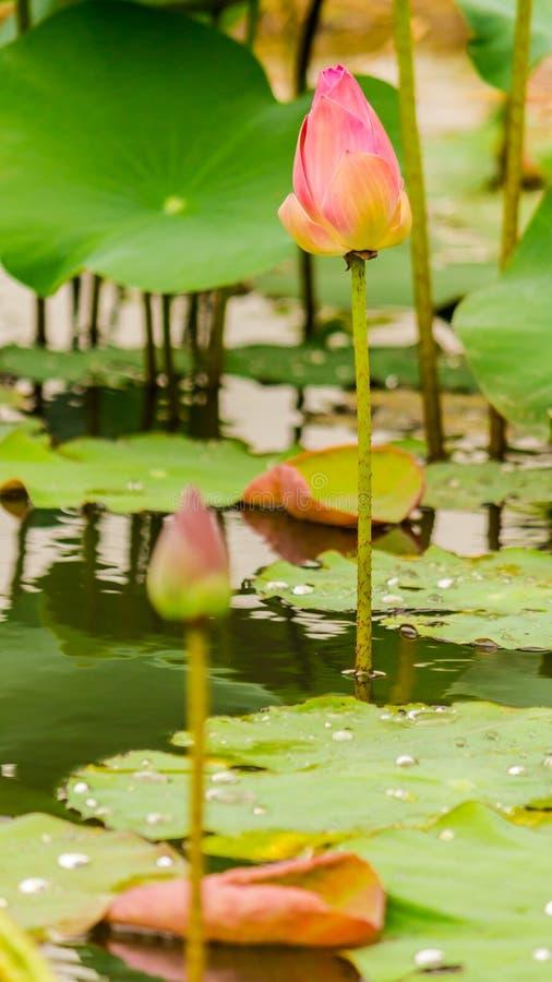 Härlig rosa lotusblommablomma i dammet arkivbild