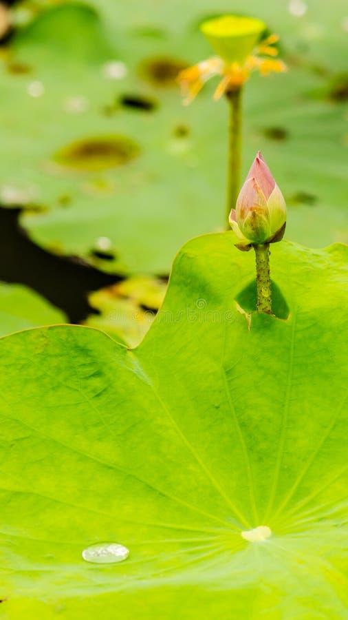 Härlig rosa lotusblommablomma i dammet arkivfoton