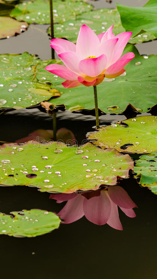 Härlig rosa lotusblommablomma i dammet royaltyfria foton