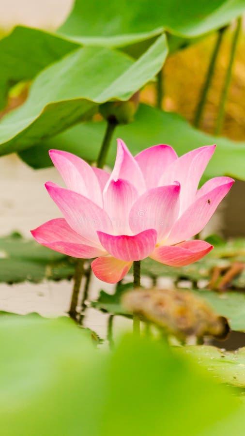 Härlig rosa lotusblommablomma i dammet royaltyfri foto