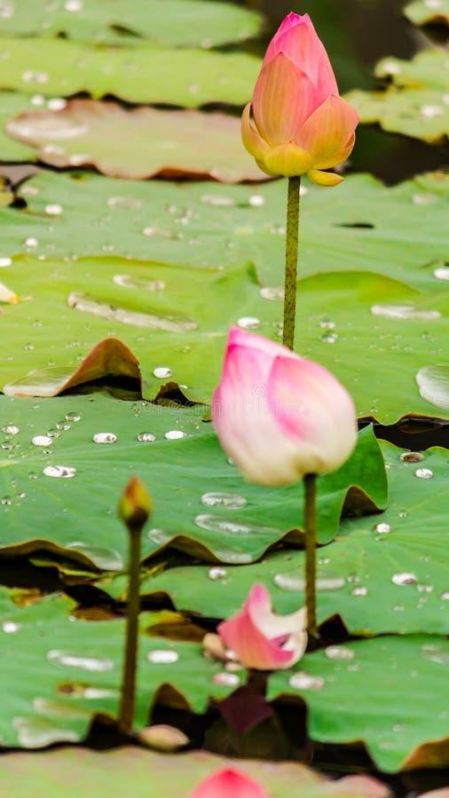Härlig rosa lotusblommablomma i dammet arkivfoto
